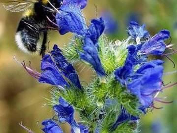 Растение синяк обыкновенный лечебные свойства