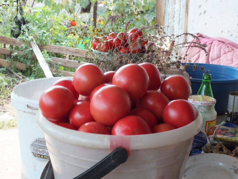 Томат титан: высокоурожайный сорт, дающий 4,5–8 кг плодов с куста