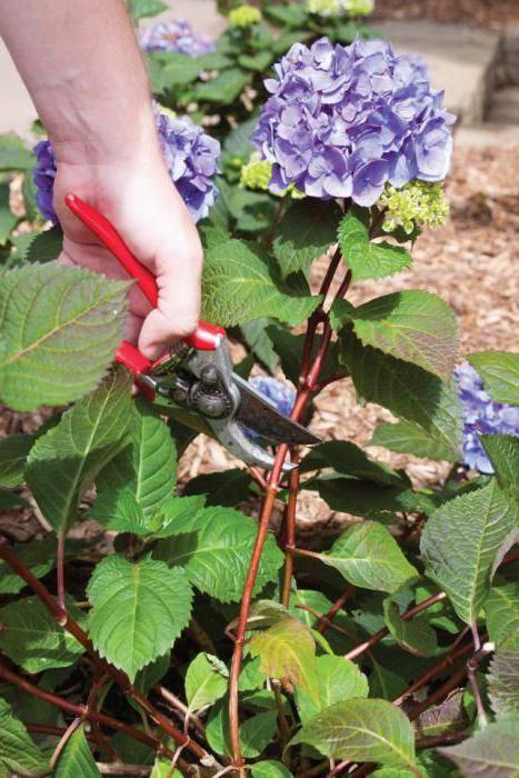 Правильная обрезка гортензии метельчатой, древовидной после зимы и весной