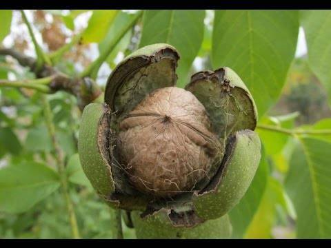 Плодоносность грецкого ореха