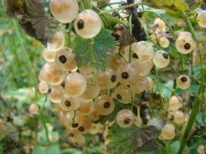 Смородина версальская белая: описание сорта, правила посадки и ухода, размножение