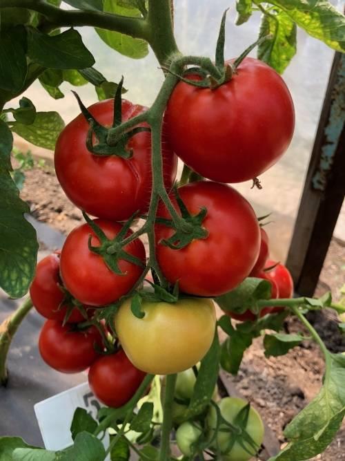 Гибрид помидора «анюта f1»: фото, отзывы, описание, характеристика, урожайность