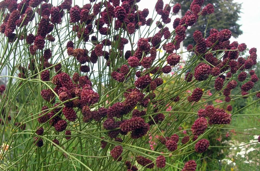 Всё о траве кровохлебке и ее лечебных свойствах