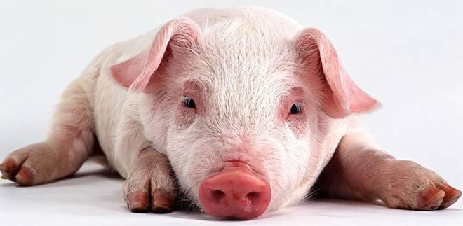 Как проявляется отечная болезнь свиней