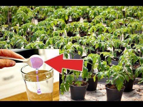 Чем подкормить рассаду помидоров и перцев: народные средства и удобрения