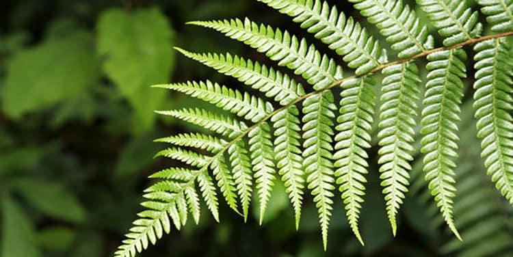 Полезные свойства вербены лекарственной: природная сила растения