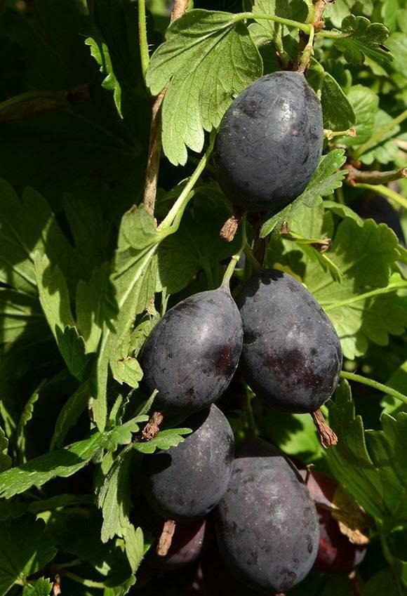 Крыжовник машенька: характеристика, особенности выращивания и размножения