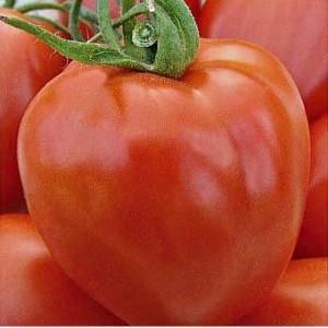 Характеристика и описание сорта томата канопус, урожайность