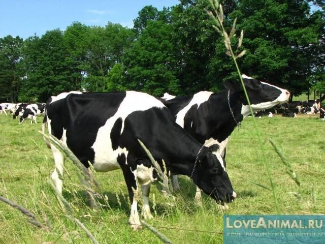 Кетоз у коровы: симптомы и лечение - общая информация - 2020