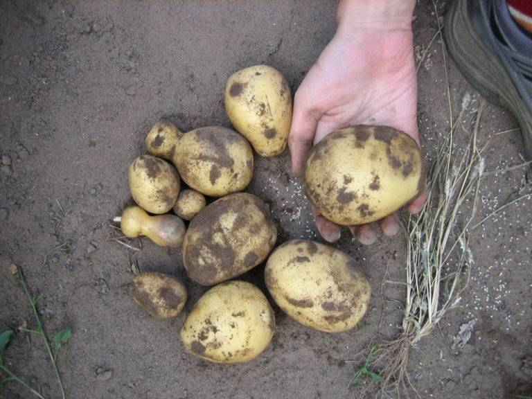 Белорусский картофель «скарб» описание сорта, характеристики, фото