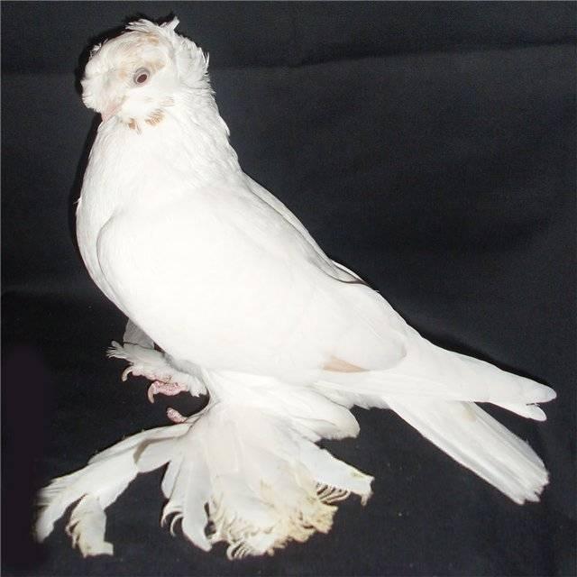 Особенности узбекских голубей — 4 лапки