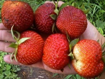 Клубника пандора: описание сорта, достоинства и недостатки, отзывы садоводов, рекомендации по выращиванию