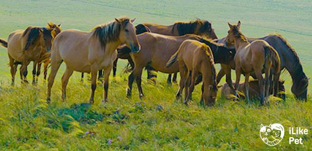 Башкирская лошадь – порода мясомолочного направления 2020