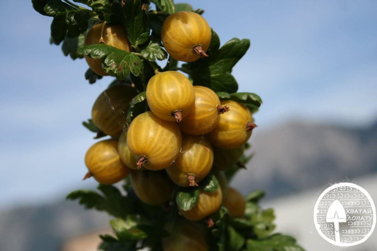 Сорта крыжовника: описание лучших видов красного, желтого, зеленого