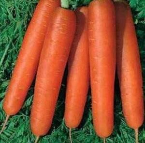 Морковь сластена — описание сорта, фото, отзывы, посадка и уход