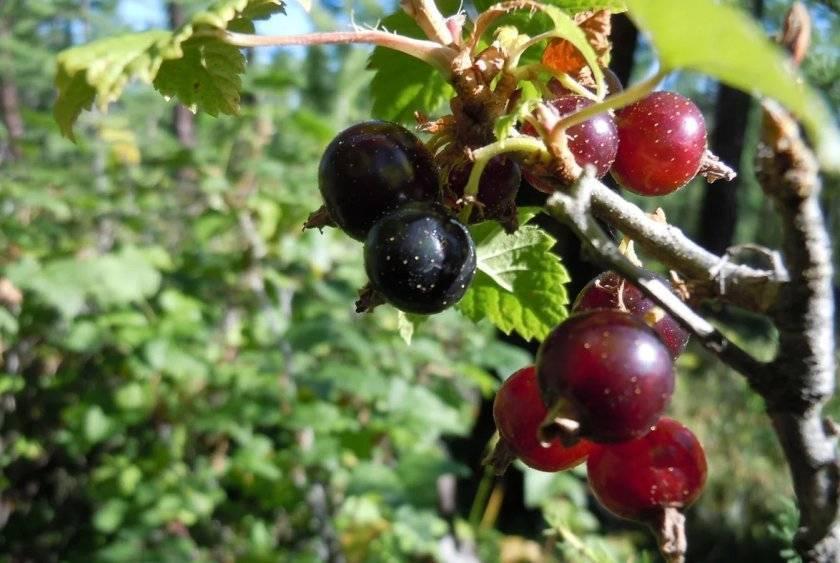 Дикая смородина: полезные свойства реписа