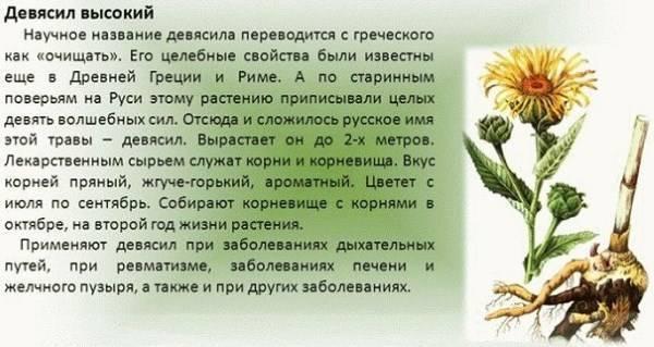 Девясил высокий: описание, выращивание и заготовка