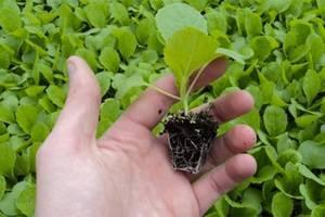 Как вырастить раннюю капусты: сроки посева, подготовка семян, пикировка и уход за рассадой