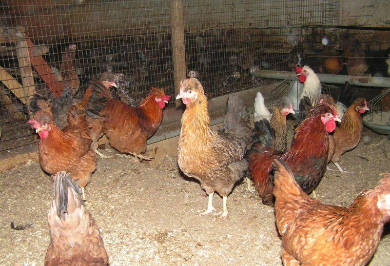Русская хохлатая порода кур: описание породы, содержание