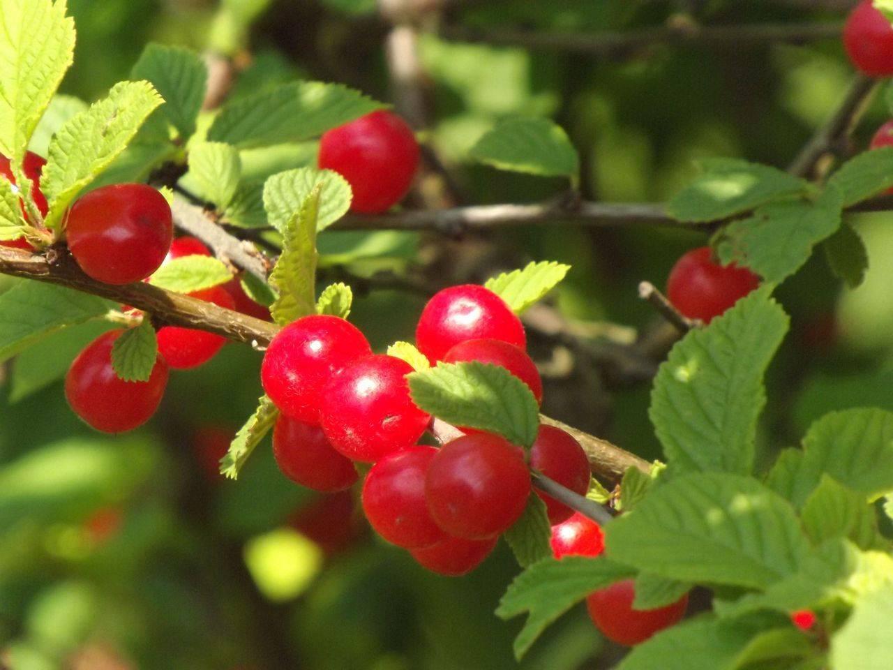 Описание раннеспелой войлочной вишни натали