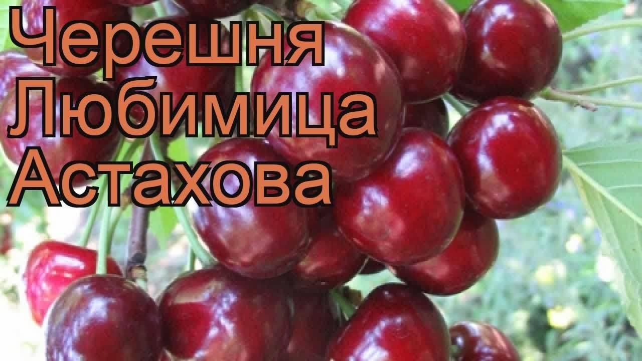 Лучшие самоплодные сорта черешни для северо-западного региона, беларуси и украины