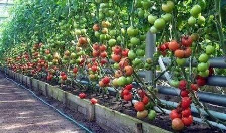 Опрыскивание томатов борной кислотой для завязи