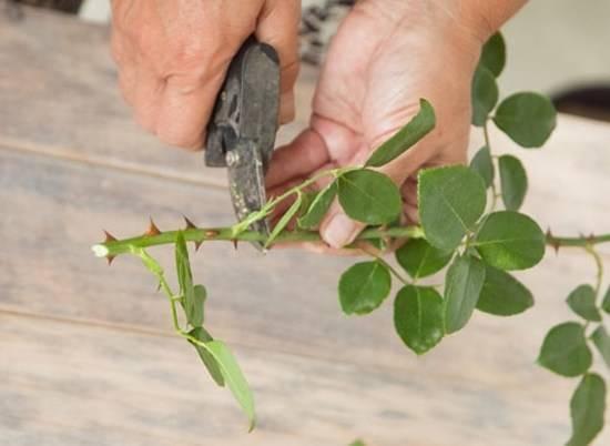 Размножение розы методом буррито: как правильно укоренять черенок летом