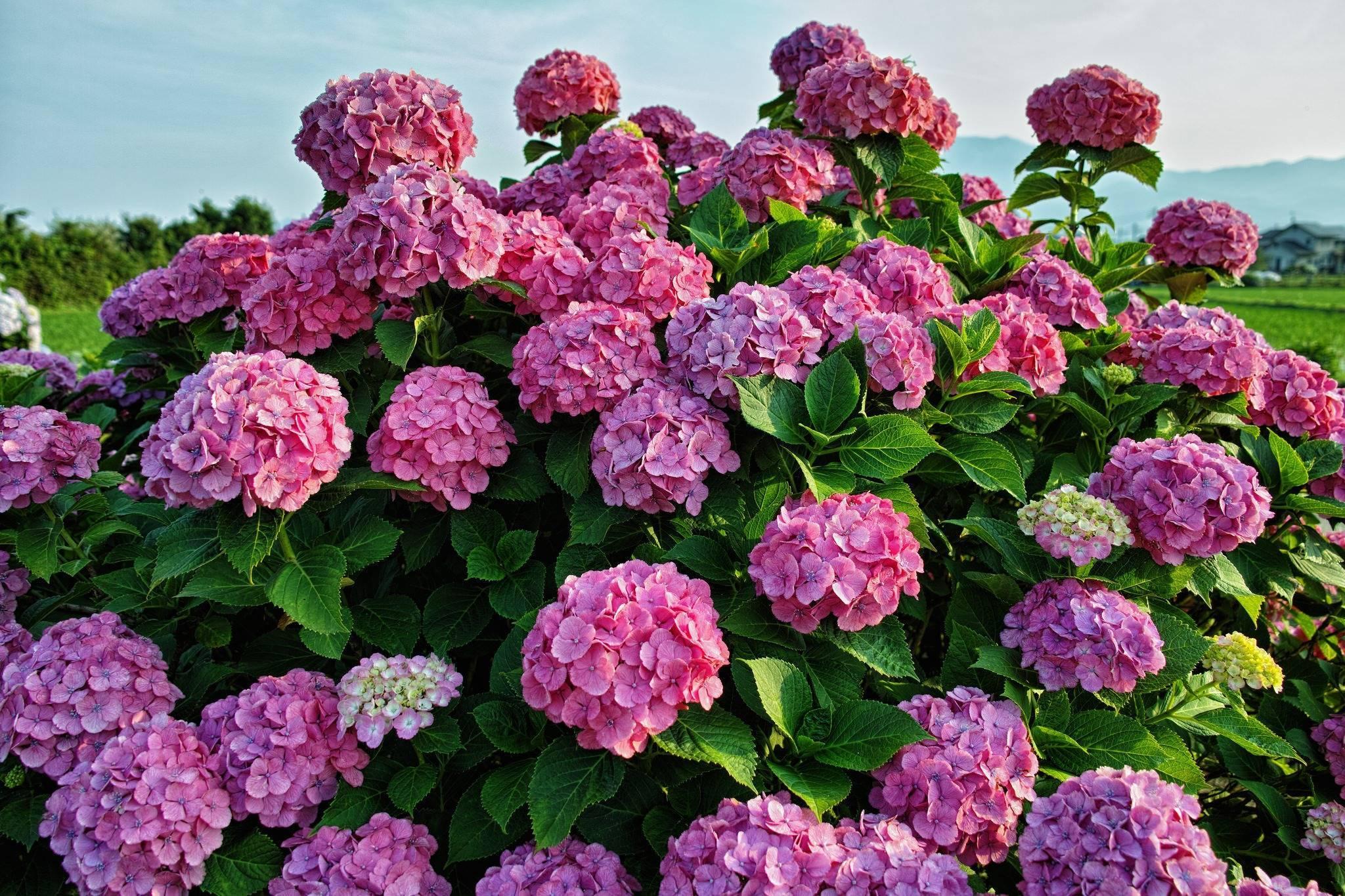 Почему не цветет гортензия в саду или дома? ищем причины
