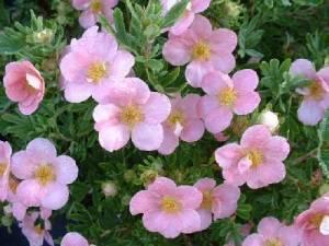 Розовая лапчатка: сорта и их выращивание