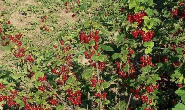 Сорт полезной красной смородины джонкер ван тетс