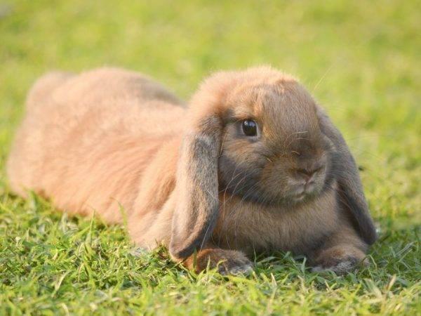 Самые популярные породы кроликов