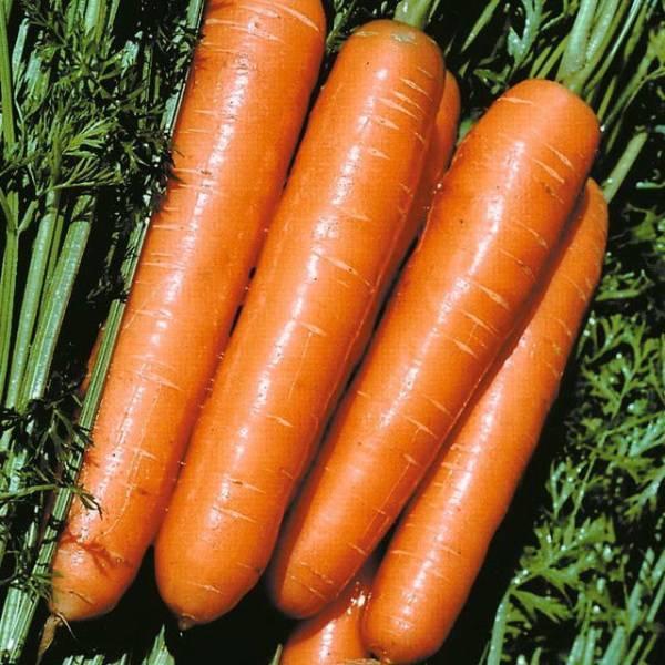 Сорта (семена) моркови для сибири: для открытого грунта, для зимнего хранения, урожайные, скороспелые, отзывы