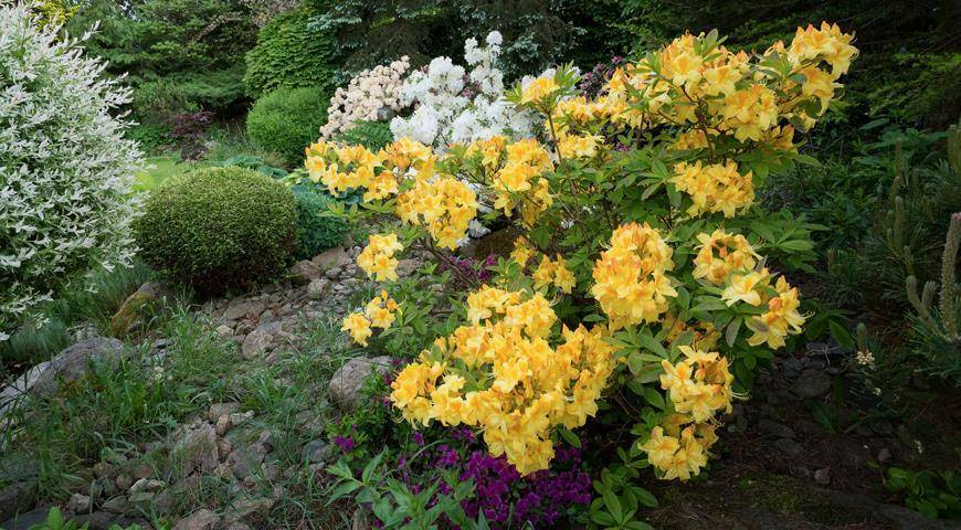 Рододендрон желтый: фото, посадка и уход, для чего полезен