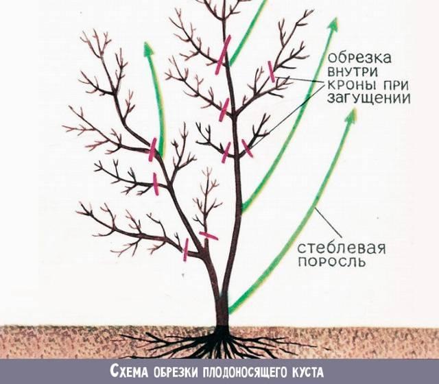 Как обрезать жимолость осенью, чтобы был хороший урожай: фото и видео пошагово