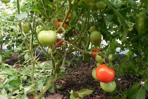 Как вырастить томат «джина»: характеристика и описание сорта