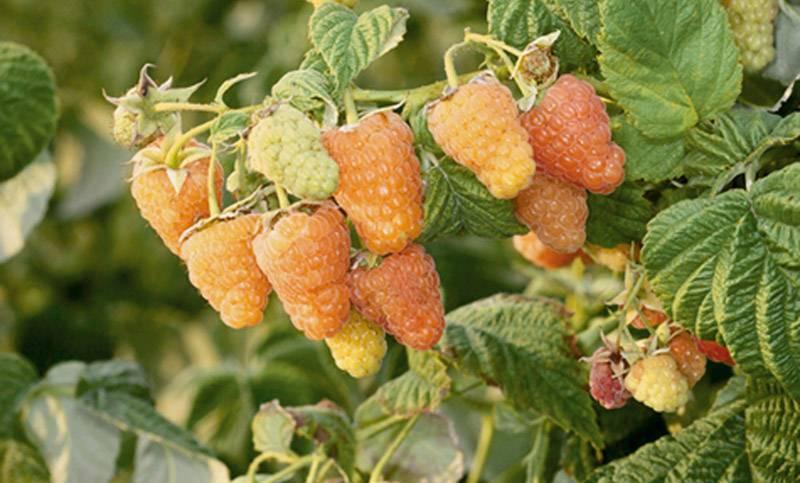 8 сортов желтой малины, которые вас не разочаруют
