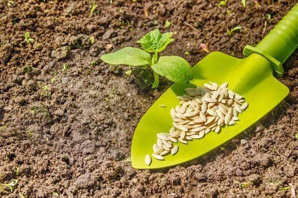 Разбираемся когда сажать огурцы на рассаду для открытого грунта? рекомендации по посеву, пересадке и уходу, а также можно ли сеять семена в открытый грунт