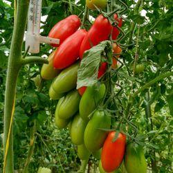 Выращиваем томат хохлома: описание сорта, алгоритм выращивания