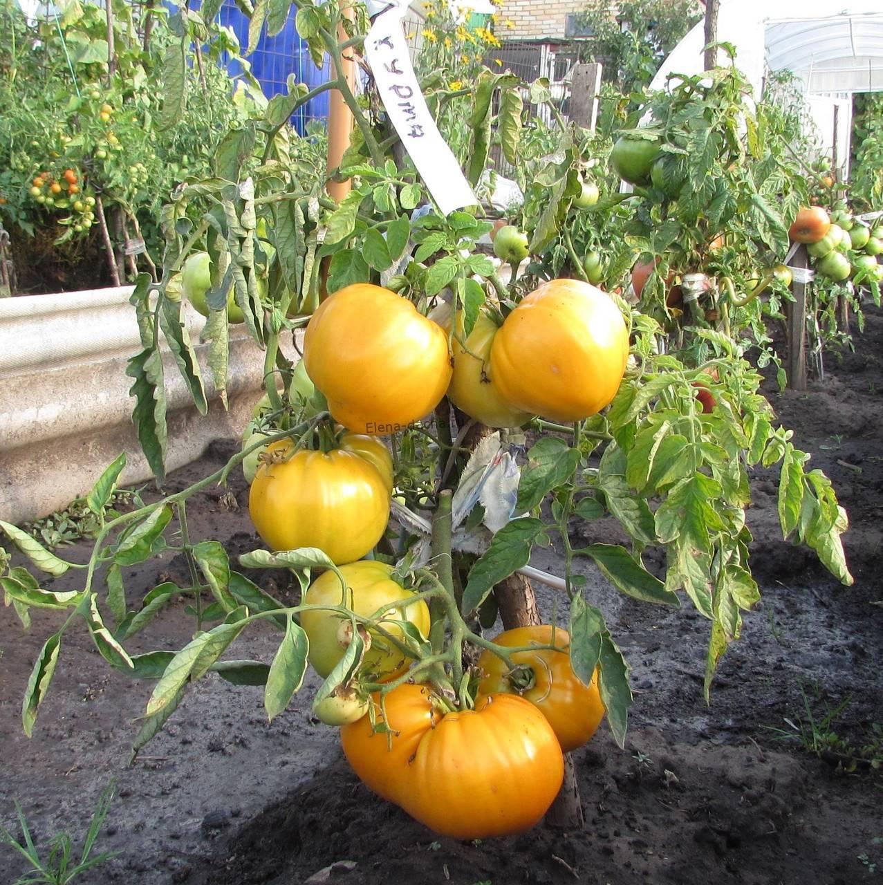 Помидорное дерево ставшее отличным подспорьем многим фермерам — томат спрут f1: описание сорта
