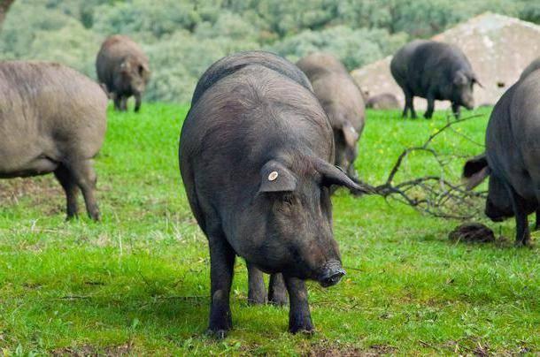 Кармалы – порода свиней или нет, достоверно о гибриде 2020