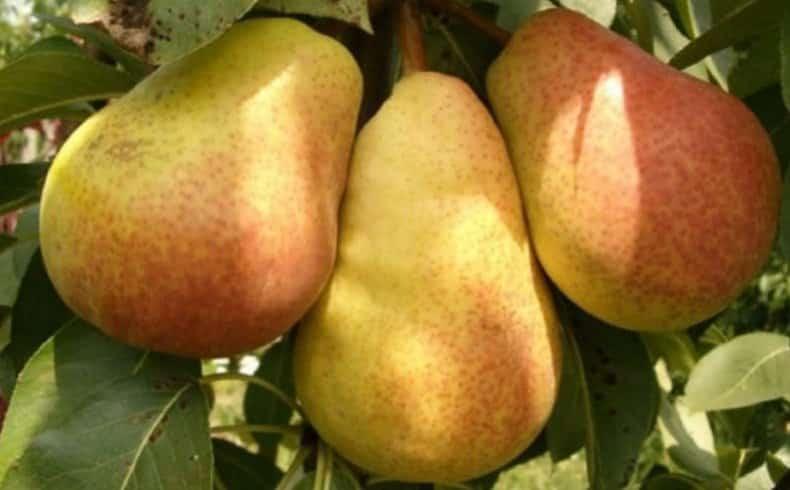 Превосходный сорт с отличным вкусом — груша яковлевская