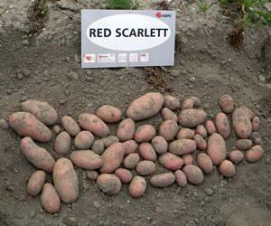 Картофель ред скарлет – удивительный вкус и простая агротехника