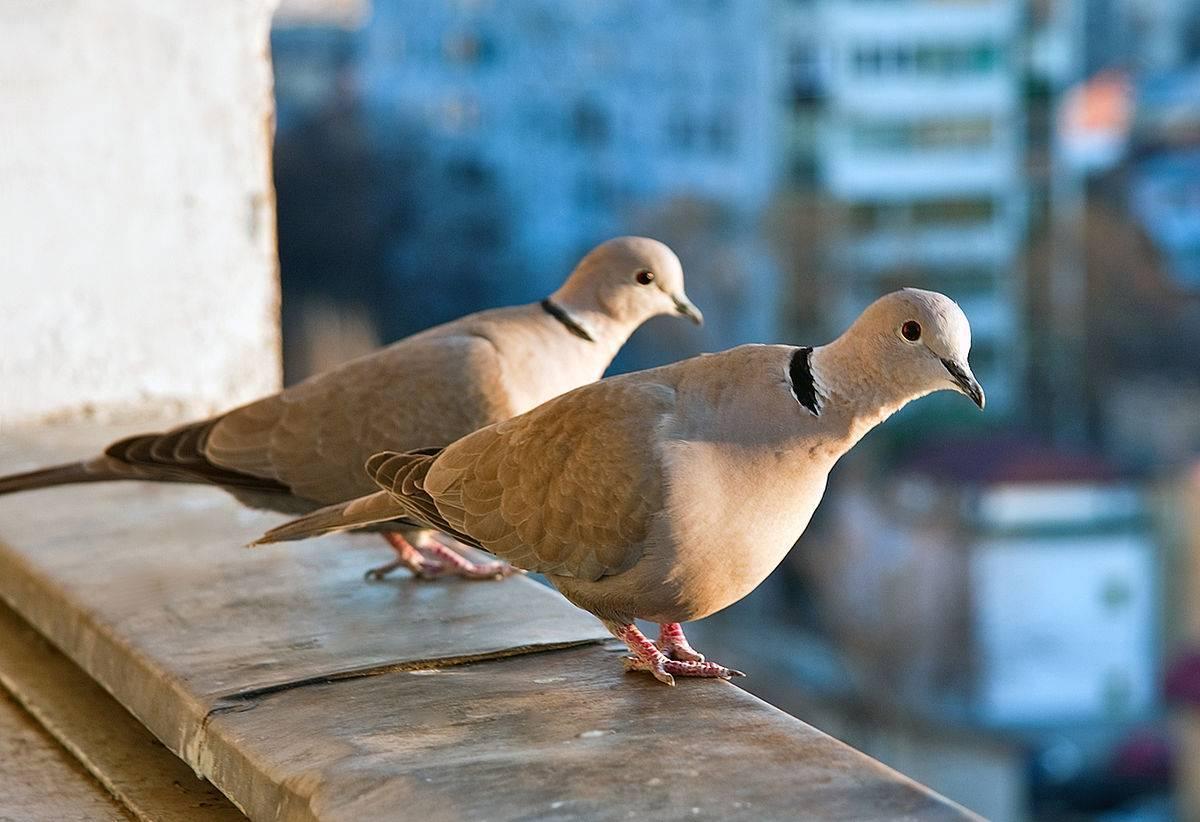 Николаевские голуби (14 фото): в чем уникальность полета птиц? мраморные и бокатые окрасы высоколетной породы, красные и белохвостые, черные и желтые голуби