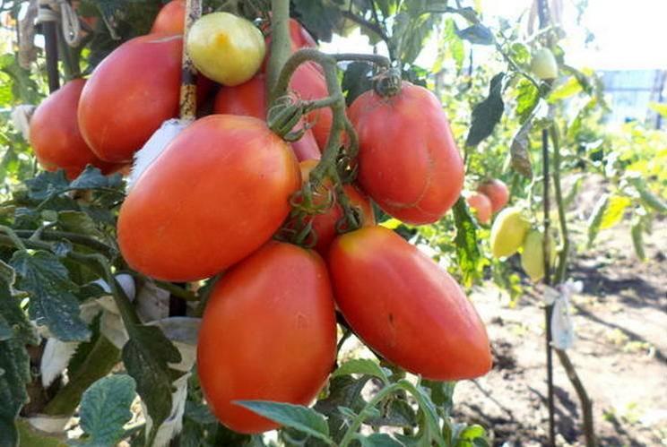 Описание сорта томата розовый титан и его характеристики