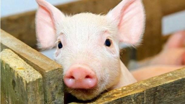 Африканская чума свиней — чем она опасна, как проявляется, и можно ли уберечь животных от заражения?