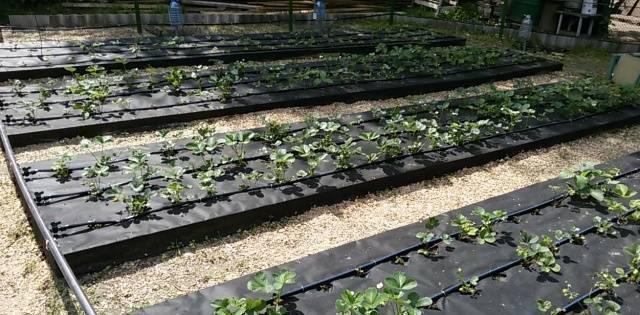 Клубника «пандора»: описание и агротехника британского сорта