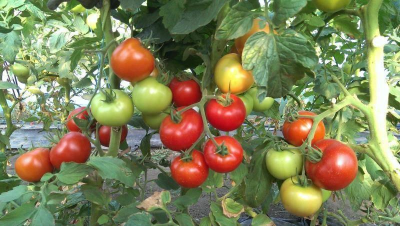 Топ-15 популярных сортов индетерминантных томатов для теплиц