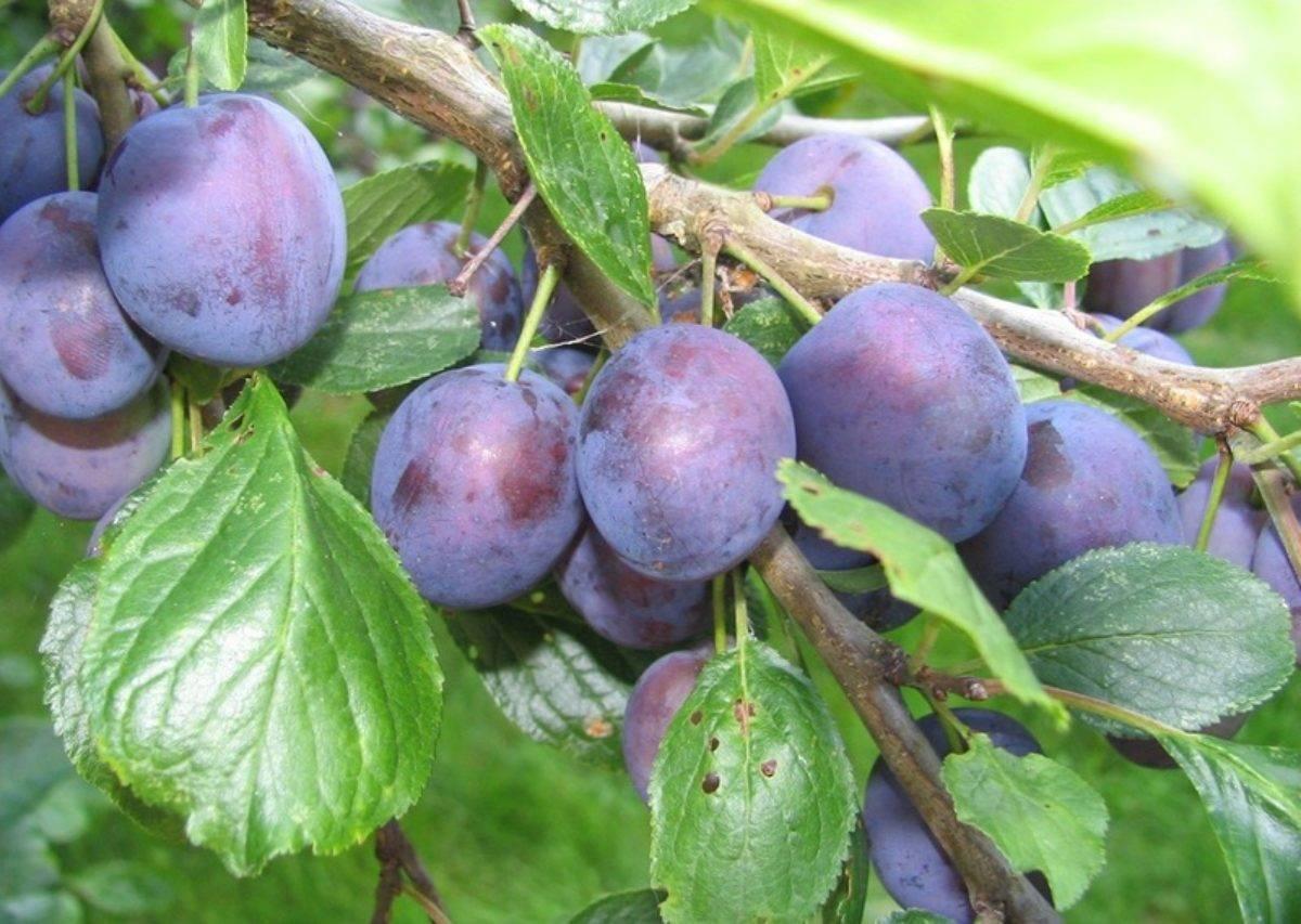 Особенности выращивания и ухода за сливой сорта заречная ранняя