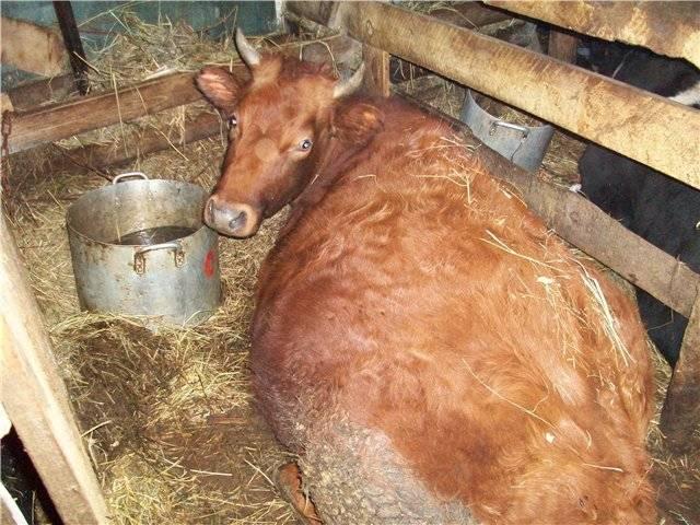 Календарь стельности и отела коровы по дате осеменения (сроки, таблица, график)