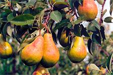 Самые популярные сорта груш с описанием и фото